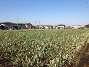 IMG_2267 横浜ネギ畑