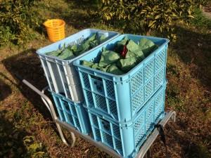 IMG_2431デコポンコンテナに収穫