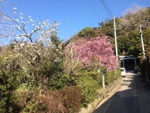 IMG_2597 河津桜と青空 香実園